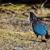This Steller's Jay swooped into view and then was gone....wish I would have had a bit more time .  Firtst time ever for me to see one.  It didn't stay more than 30 seconds.