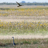 Great Blue Heron & Northern Harrier flying