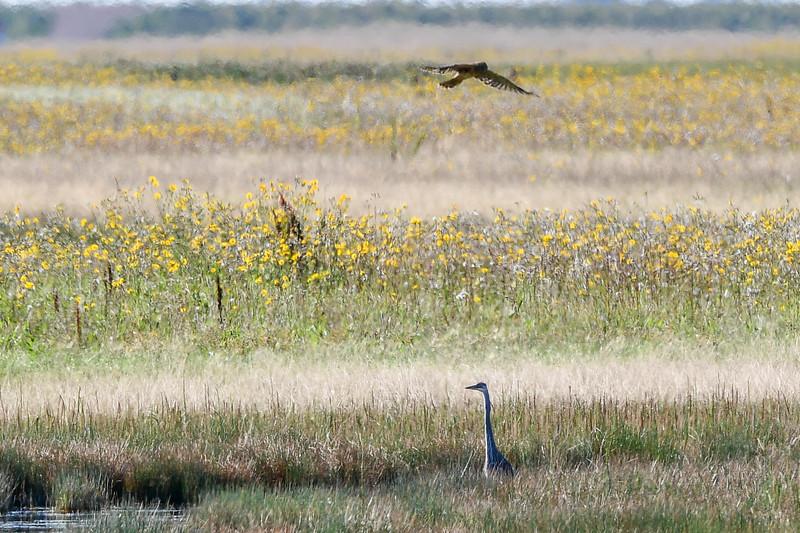 Great Blue Heron & Northern Harrier flying
