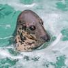160128 Gray Seal Della 2