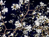 Magnolias at night by flash