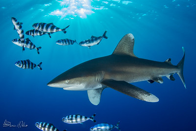 Oceanic White tip Shark at dusk