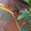 Monarch butterfly laying eggs on milkweed (Asclepias curassavica)