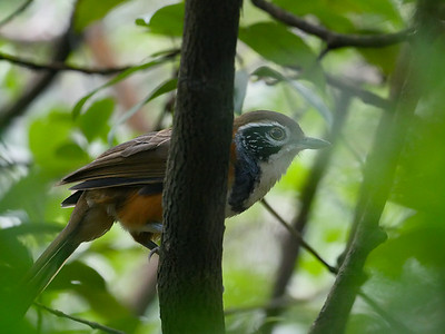 Greater Necklaced Laughing-thrush
