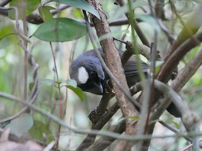 Black-throated Laughing-thrush