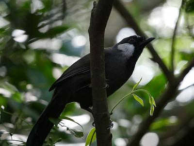 Black-throated Laughing-thrush