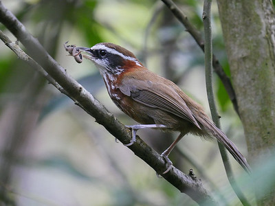 Streak-breasted Scimitar-babbler