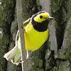 Hooded Warbler - Labagh Woods
