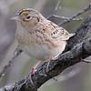 Grasshopper Sparrow - IBSP South Unit