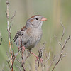 Field Sparrow - IBSP South Unit
