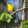 First photo of  Yellow-breasted Chat - IBSP North Unit  is blurry even though focus point was on its head.