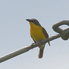 Yellow-breasted Chat - IBSP North Unit