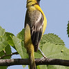 Orchard Oriole (First Summer ) - IBSP North Unit
