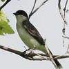 Eastern Kingbird - North Unit