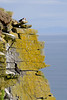 We found a lone puffin at the top of the cliff at Látrabjarg