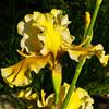 Iris delerium