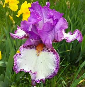 Our Iris Garden -- 2016