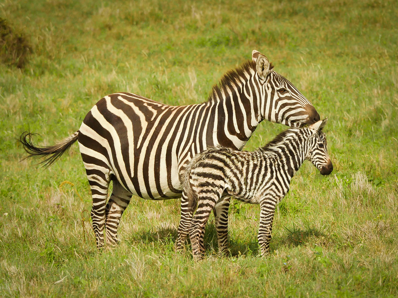Common Zebra