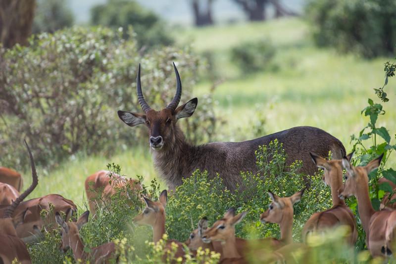Waterbuck with Impala