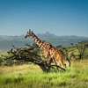 Reticulated Giraffe with Mt. Kenya