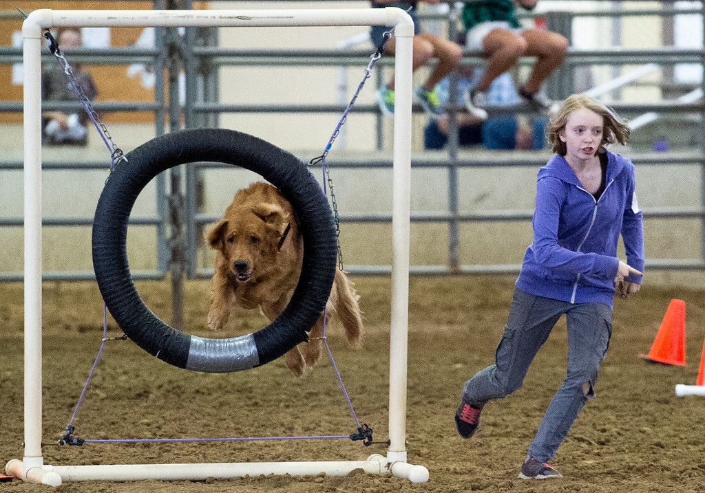 . Caroline Brown leads her dog through an agility course Wednesday afternoon August 3, 2016 during the Larimer County Fair and Rodeo at The Ranch in Loveland. (Photo by Michael Brian/Loveland Reporter-Herald)