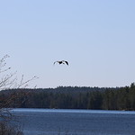Massebesic Lake - Loon/Crane Habitat 12