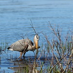 Massebesic Lake - Loon/Crane Habitat 39