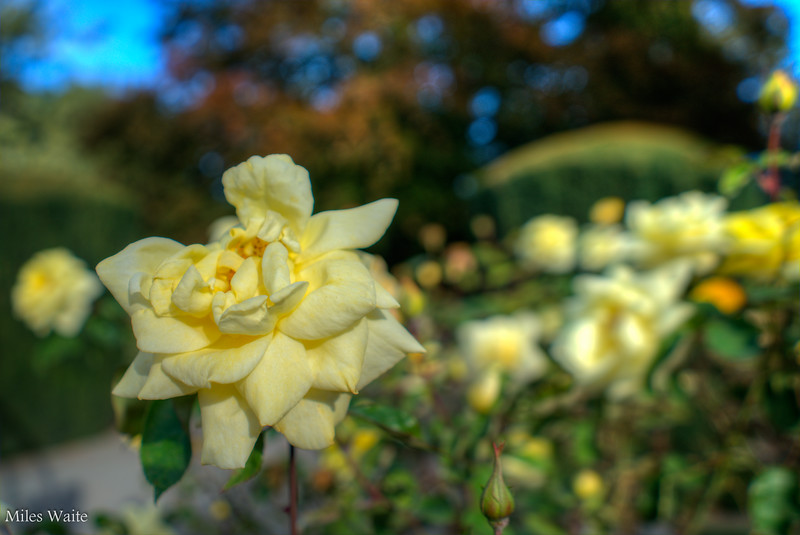 Roses @ Christchurch Botanic Gardens