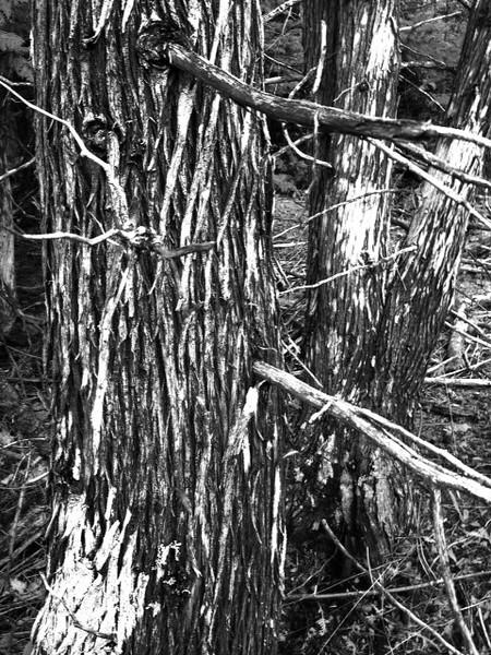 Trunk Matrix by Richard Douglass. Taken at Conglomerate Falls.