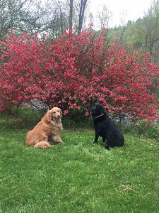 This picture is submitted by Addison Judge,  15 years old at our house in South Woodstock,  Vermont   Dogs in front of the Quince tree