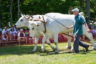 Reading Old Home Day Ox Pull 2016