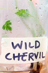 IMG_8465 wild chervil