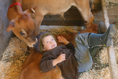 IMG_2795 Aine Devine,4, of south royalton,,has her hat nibbled by a calf while she was vistiting them