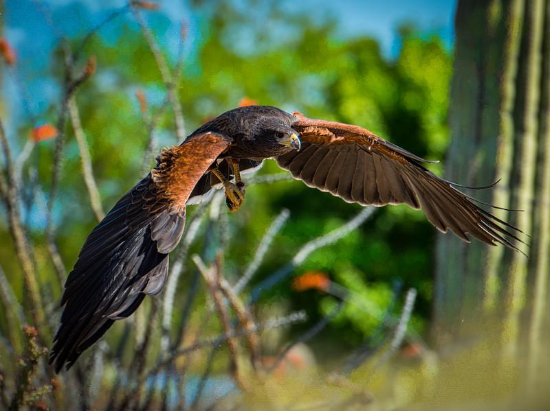 Beautiful Harris Hawk!