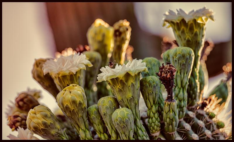 Up close and personal -- Blooming Saguaro Cactus