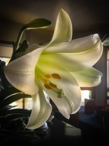 Photo #5 of 7 - Easter Lily makes me smile!