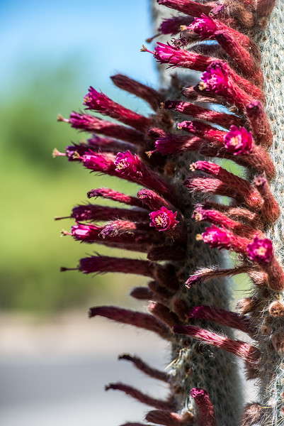 Photo #4 of 7 - Cactus flowers getting ready to explode!