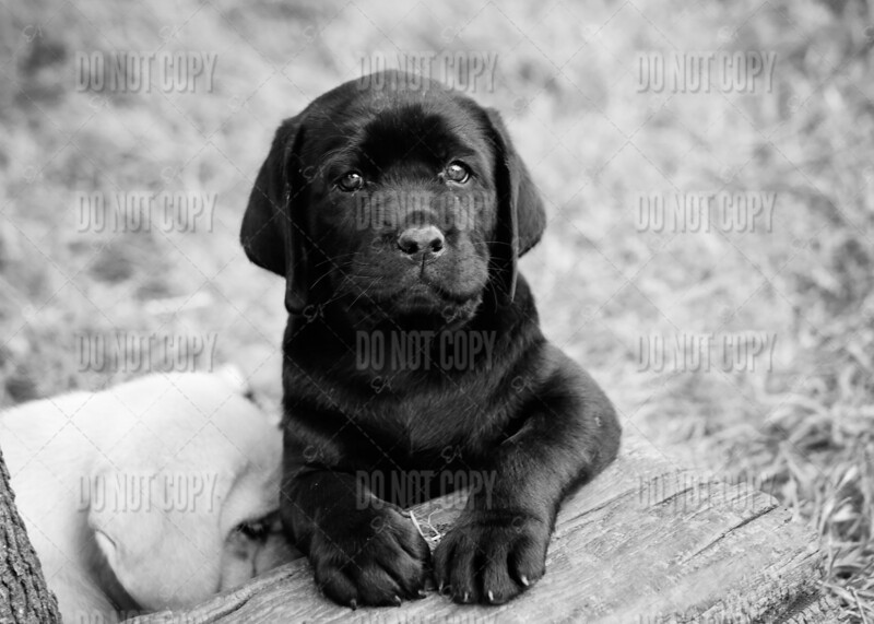 AndiexBananPuppies7weeks - 13bw