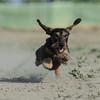 Flying Dachshund by Agiledogs