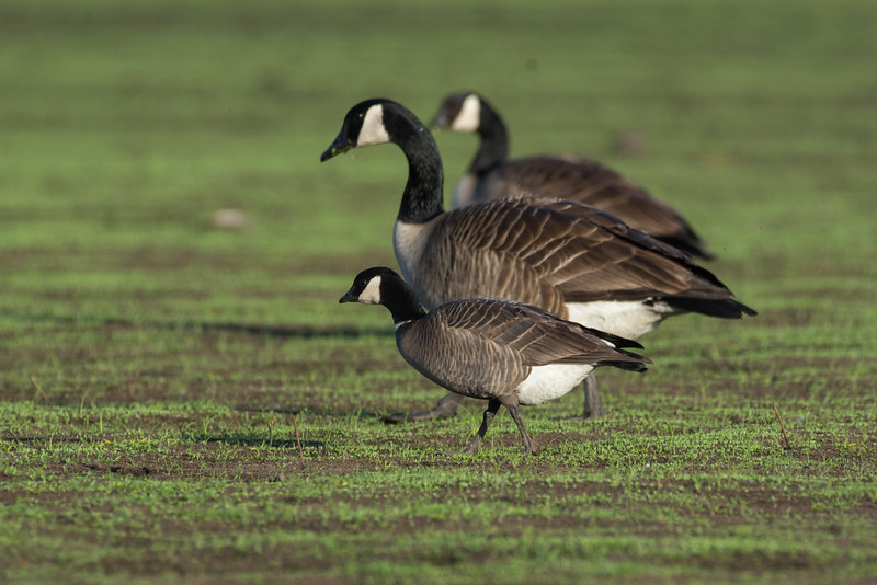 Cackling Goose - when you see them beside their larger Canada Goose cousins its quite amazing how small they really are.  This was a quick stop at Panama Flats as I headed out of town to get species 157 for the year