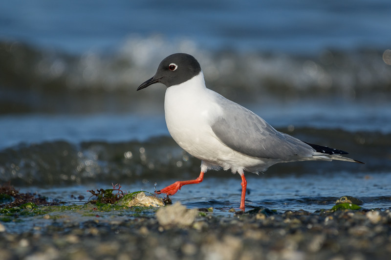 Bonaparte's Gull -  with a northern rough-winged swallow also shot today this Bonapartes brought my yearly total up to 131 species.  Was lucky this bird was on its own on a quiet part of the beach and a low and steady approach got me within range.