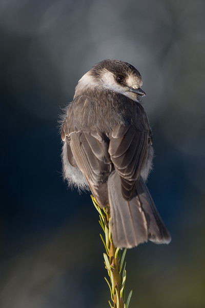"""Gray Jay - the new """"Bird of Canada"""" and a number of customer requests led to a drive up to Strathcona Park on central Vancouver Island in search of them.  Such a fun shoot with them landing on our lenses, tripods, hands, just getting them on to a natural perch can be challenge.   I love this shot with the distant Mountain backdrop.  We were extremely lucky to have a sunny day in December"""