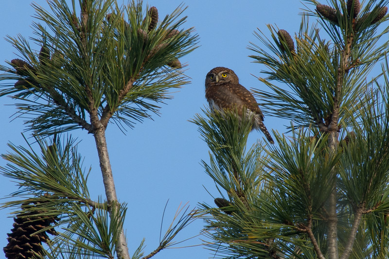 Northern Pygmy-owl<br /> <br /> finally,  I have hiked a 100km+ and thousands of feet in elevation to finally find one 3km from my house on a flat trail.  I knew I would get one sooner or later and I refused to drive up island to get the easy shot up in Parksville.  It stayed up high and distant but thats ok with me,  I was just happy to find one.  It was all the more exciting with the discovery of cougar scat in the same area.  It gives you an idea of how small these little owls are when that pine cone on the lower left is bigger then it.