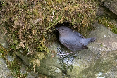American Dipper - male feeding the nest