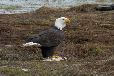 Bald Eagle eating a salmon