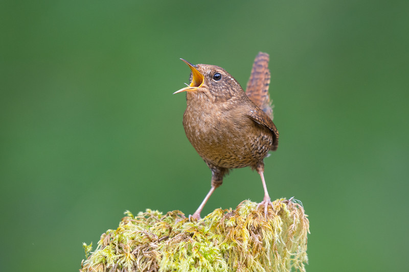 Pacific Wren -singing<br /> When deciding on doing a big year, it was not all about getting as many birds as possible but also getting the best possible pics of each species.  Pacific wren were actually on my short list of birds to get this season anyway and today I feel like I finally got shots  I am happy with.  Normally they skulk in the deepest darkest parts of the forest but today I came across one singing on the edge of a clearing and with high overcast skies the light was perfect, low iso and no flash needed.