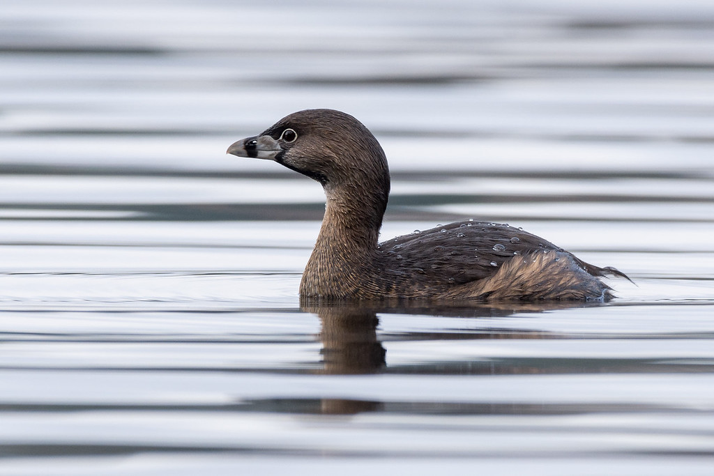 Pied-billed Grebe  Species number 86 for the year.  Was dark and rainy but it cleared for a bit later in the afternoon.  After getting the pileated I headed over to a local Provincial Park looking for the pied-billed grebes I had seen there last week.   Not ideal light for shooting on the water, but I will still take it for the year.   A stand of trees by the waters edge made for a great hiding spot as I waited for them, to swim by.     Never came too close but enough for a record shot, will have to try again the next sunny day we get.