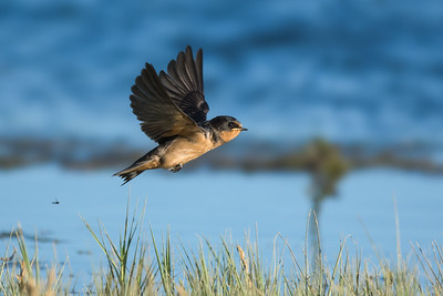 Barn Swallow - juvenile