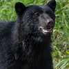 Black Bear smiling for the camera