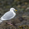 Glaucous-winged Gull dining on a starfish